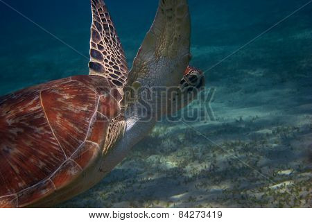 sea turtle in the sea in egypt during the dive
