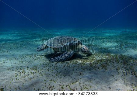 sea turtle eats at the seabed at the dive in blue sea
