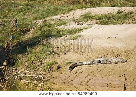 mugger crocodile taking sun bath at Bardia national park, Nepal