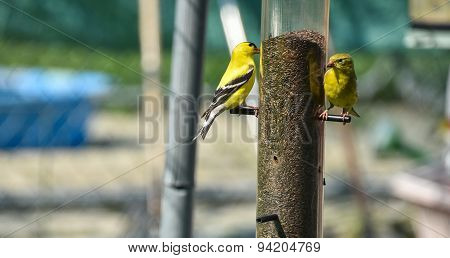 Little yellow birds of spring - American Goldfinches.