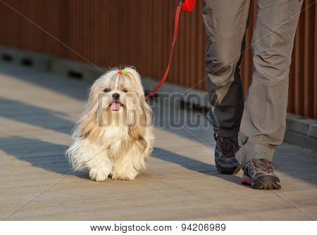 Shih-tzu dog walking with woman in city.