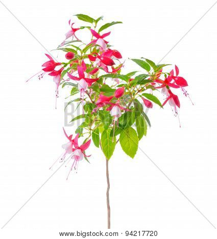 Blooming Beautiful Stam Tree Of Red And White Fuchsia Flower Is Isolated On White Background, `shado