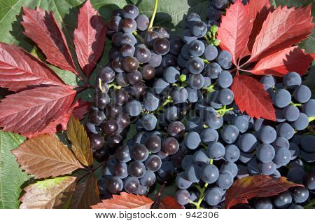 Grape And Red Leaves