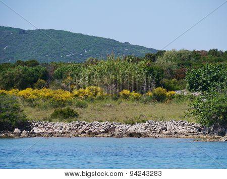Spanish broom in the Croatian maquis