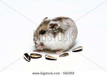 Dwarf Hamster Eating