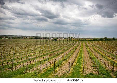 Spring vineyards on a winery in Dirmstein, Germany with rows of neatly trellised vines sprouting their first fresh spring leaves