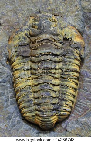Trilobite Fossil As Very Nice Background