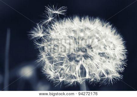 Dandelion Flower With Fluff, Monochrome Macro