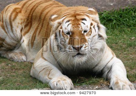 Tigre sol cozimento