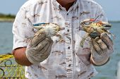 Fisherman on Tangier Island showing a male and female blue crab (Callinectes sapidus) to tourists. poster