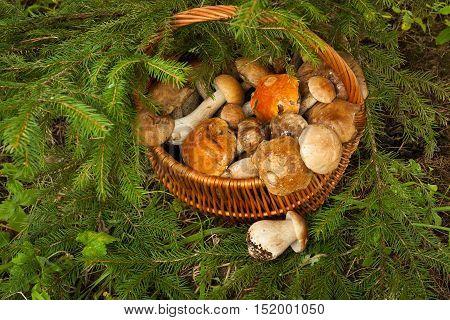 Fresh Edible Mushrooms In Wattled Basket Near fir-tree In Forest Top View. Wicker Basket With Mushrooms. Mushroom Brown Cap Boletus (Leccinum Scabrum) Orange-Cap Boletus And Porcini.