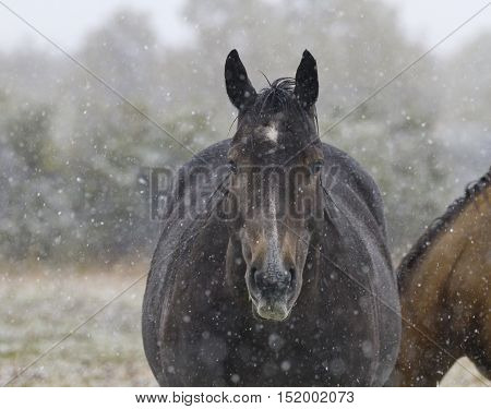 Horse stands quietly in gentle snowfall. Location is Alberta Canada in farm fields near Pincher Creek and Waterton National Park. Date is September 12 2016.