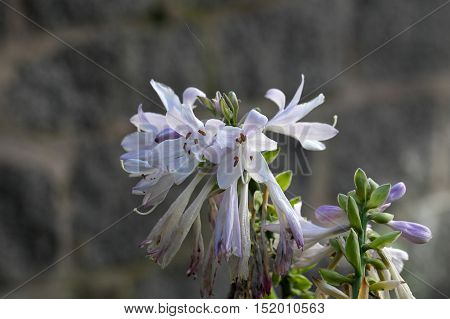 Flower of the plantain lily Hosta sieboldii. poster
