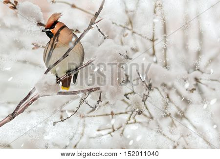 Crested waxwing sitting on a branch in the snowfall in the snow-covered winter garden close-up