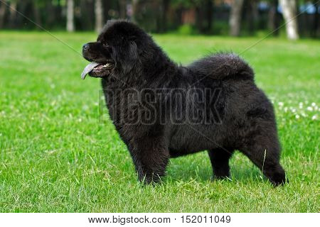 beautiful dog breed Chow Chow rare black color is to show the position in the summer on the grass. Champion exhibitions