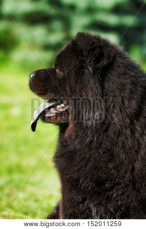 Beautiful fluffy black dog Chow Chow summer outdoors head closeup
