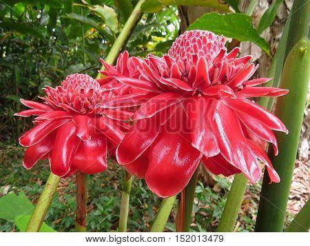Australian red waratah flower in full bloom