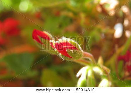 Red geranium flower bud growing in garden sunlight
