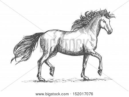 Arabian horse sketch of galloping purebred mare horse with raised legs and flowing mane and tail. Horse racing badge or equestrian dressage competition mascot design poster