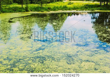 City small lake with duckweed on the surface of the water. Nobody