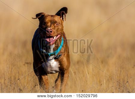 Staffordshire Terrier runs over a brown field