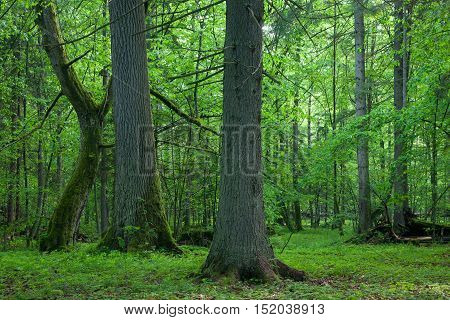 Old oak and hornbeam in natural springtime deciduous stand, Bialowieza Forest, Poland, Europe
