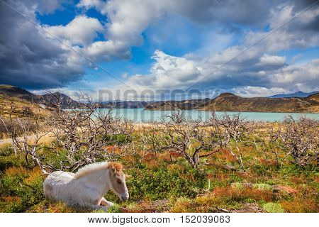 White horse resting on the shore of the lake. Concept of ecotourism. Chile, Patagonia, Torres del Paine National Park - Biosphere Reserve