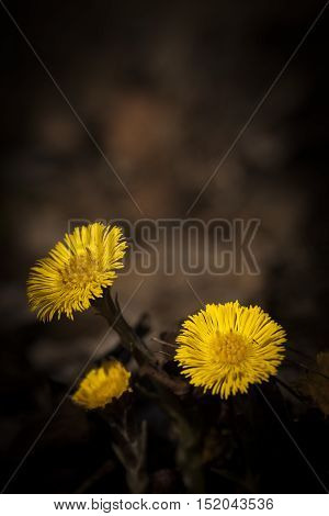 the shining flowers of the tussilago farfare