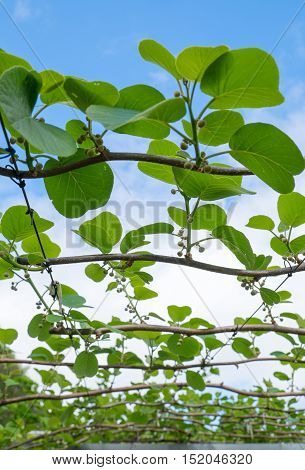 Leaves and buds on kiwi fruit vines in an orchard Kerikeri New Zealand NZ