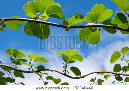 Kiwi fruit buds and leaves in orchard Kerikeri New Zealand NZ