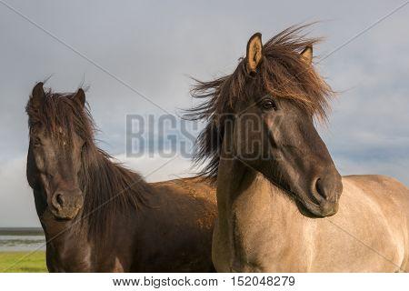 Icelandic horses posing with dramatic overcast sky