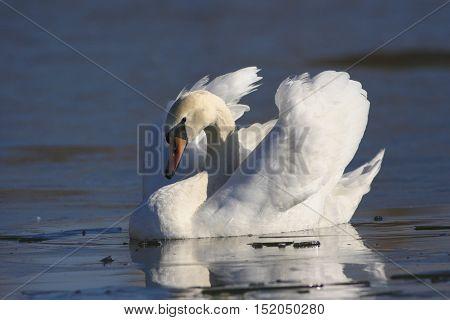 Male Mute swan Cygnus olor swiming in the pond