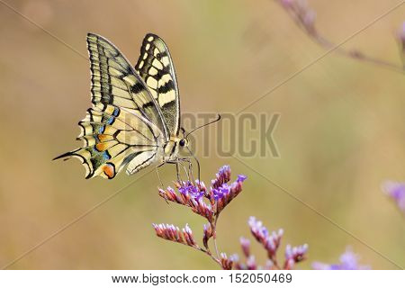 Swallowtail butterfly flying around pink flower and yellow background