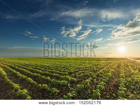 Rows of young green soybeans against the setting sun with beautiful clouds. Soy bean fields in early summer season at sunset.