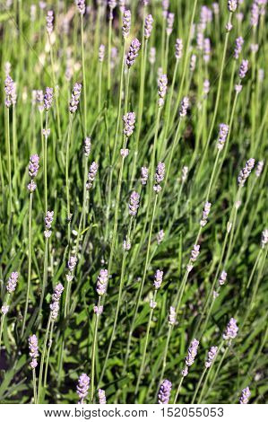 True Lavender or or English lavender (Lavandula angustifolia). It is a strongly aromatic shrub. The leaves are evergreen flowers are pinkish-purple (lavender-coloured)