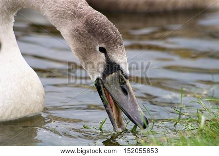 A young Mute Swan cygnet pecking at grass