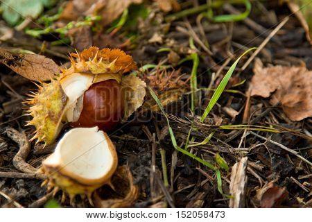 Horse chestnut still life. chestnut fruit close up. Green grass.