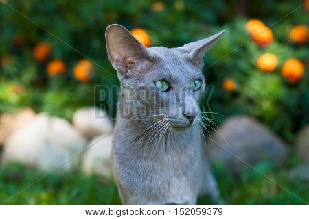 Oriental Shorthair Gray Cat In Summer Park. Oriental Breed. Close Up.