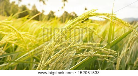 Mountain Rice Field for design background. soft blur.