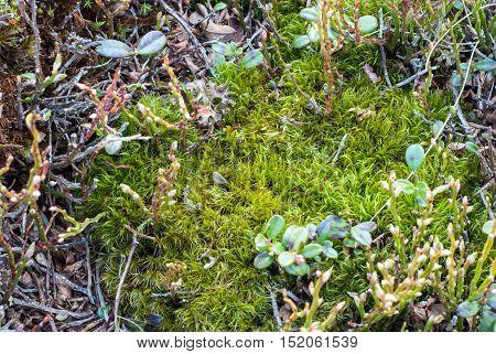 Green moss. Mountain vegetation. Mountain meadow. Wild plants closeup.