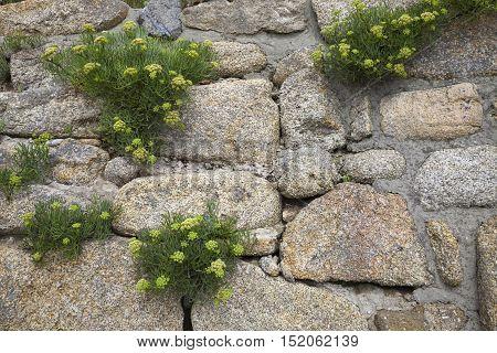 Rock Samphire (Crithmum maritimum) growing on a stone wall