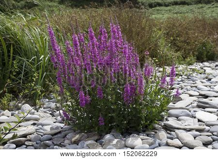 Purple Loosestrife (Lythrum salicaria) growing on a Welsh beach