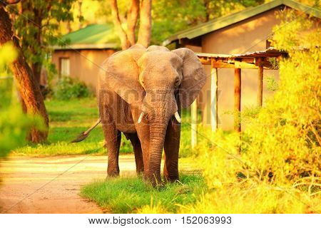 Beautiful big wild elephant, animal in mild yellow sunset light, safari game drive, Eco travel and tourism, Kruger national park, South Africa