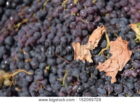 Black fresh grapes collected and ready to go to winery for producing wine red wine