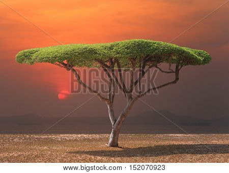 Tropical tree of mushroom shaped near the sea in sunsetTropical beach in Thailand.