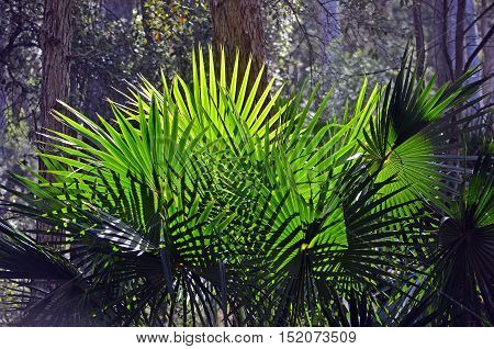 Back lit fan-shaped Cabbage Tree Palms (Livistona australis) in rainforest in the Royal National Park, New South Wales, Australia
