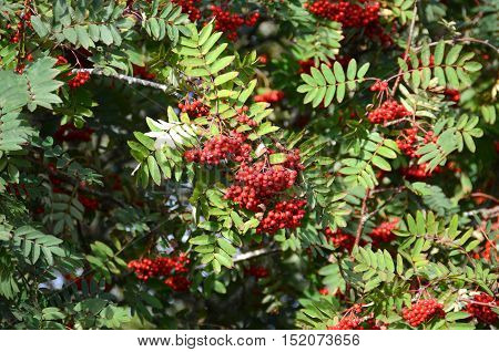 Red rowan berries on a Rowan tree