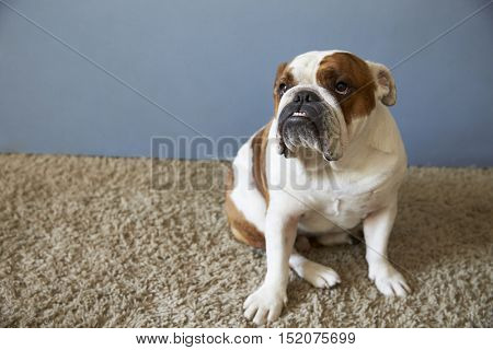 Pet British Bulldog Sitting On Carpet