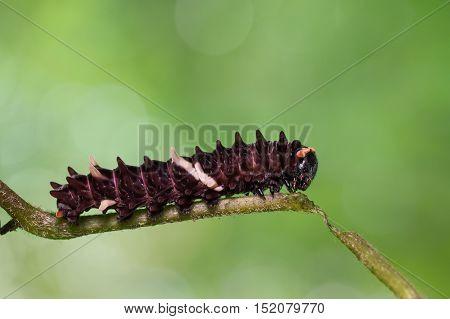 Common Clubtail Caterpillar