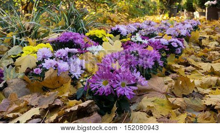 Chrysanthemums among the fallen leaves in autumn park